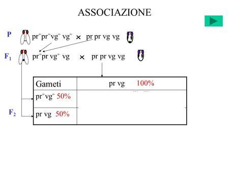 ASSOCIAZIONE F2F2 Gameti pr vg 100% pr + vg + 50%pr + pr vg + vg 25% +25% pr vg 50%pr pr vg vg 25% +25% pr + pr + vg + vg + pr pr vg vg P F 1 pr + pr vg.