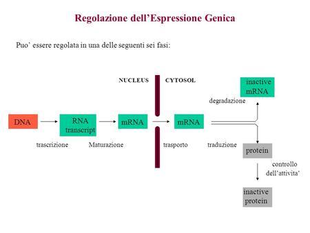 Regolazione dellEspressione Genica Puo essere regolata in una delle seguenti sei fasi: DNA RNA transcript mRNA inactive mRNA protein inactive protein NUCLEUSCYTOSOL.