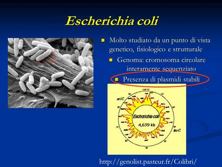 Escherichia coli Molto studiato da un punto di vista genetico, fisiologico e strutturale Molto studiato da un punto di vista genetico, fisiologico e strutturale.