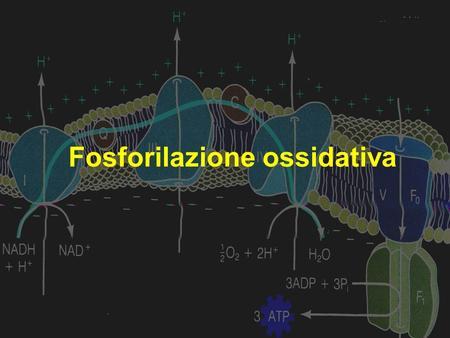 Fosforilazione ossidativa. Fosforilazione ossidativa Fosforilazione ossidativa Processo attraverso il quale gli elettroni contenuti nel NADH e FADH 2.