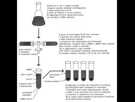 Copolimero Assegnazione dei codoni mediante uso di copolimeri ripetuti contenenti due o tre nucleotidi Codoni presenti Amminoacidi incorporati Codoni.