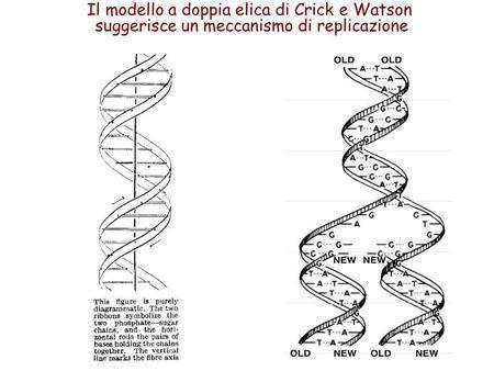 Il modello a doppia elica di Crick e Watson suggerisce un meccanismo di replicazione.