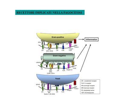 RECETTORI IMPLICATI NELLA FAGOCITOSI. PAMPs (Pathogen Associated Molecular Patterns) PRRs (Patterns Recognition Receptors) Fc Receptors C Receptors IgG.